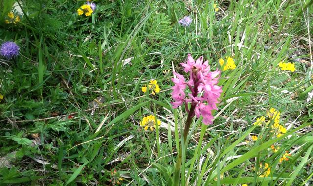 orchidea_sibillini