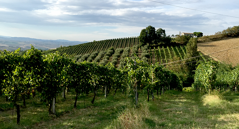 verdicchio-montecarotto