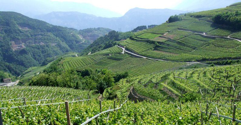 Val di Cembra, dove regna il Müller Thurgau